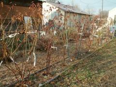 Apache Blackberries in the Winter